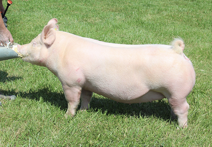"<p align=""center""><strong>3-3Y</strong><br>   Capital Gain X Untouchable<br>   Bred by: Cole Genetics<br> **Grand Overall Gilt <br>2017 Morgan County Open (IN)</p>"