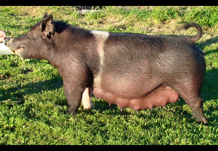 "<p align=""center""><strong>112-5X</strong><br>   Johnny Outlaw X Warfare <br>   Bred by: The Stud<br>   **Littermate to Johnny Football<br> **Dam is infamous <br>96-6 Warfare sow at The Stud</p>"