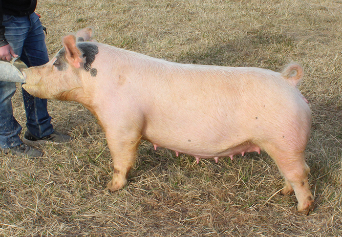 "<p align=""center""><strong>3-2X</strong><br>   Man Up X 4-8X(SnapBack X Bone Collector)<br>   Bred by: Carr<br>   **Dam of Grand Overall Barrow<br> 2017 Wayne County (IN) </p>"