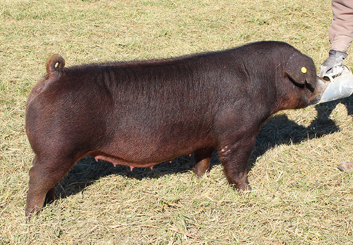 """<p align=""""center""""><strong>3-6D</strong><br>   Painted Red X KnightClub X High Roller<br>   Bred by: Knight Genetics<br> **Dam is littermate to Reserve Grand Overall Gilt<br> 2014 NJSA Southeast Regional.</p>"""