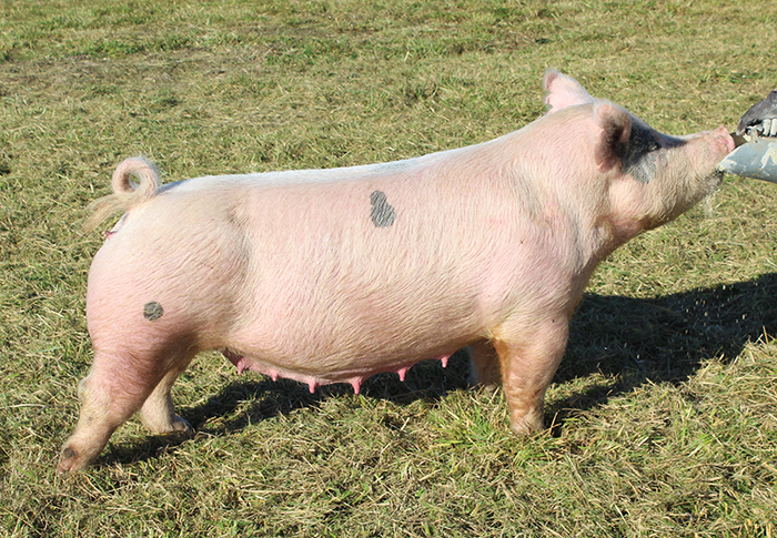 """<p align=""""center""""><strong>4-8X</strong><br>   SnapBack X Bone Collector X Hillbilly Bone<br>   Bred by: Carr<br>   **Dam of Reserve Grand Barrow 2017 Henry County (IN)<br>   **Dam of Reserve Grand Male <br>2018 Go Big or Go Home appreciation sale.<br> **Matriarch of our sow herd!!</p>"""